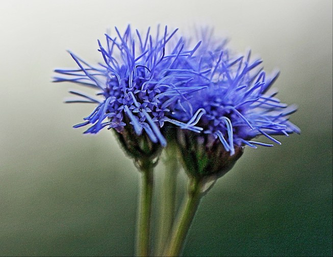 Queen of the blue mistflowers